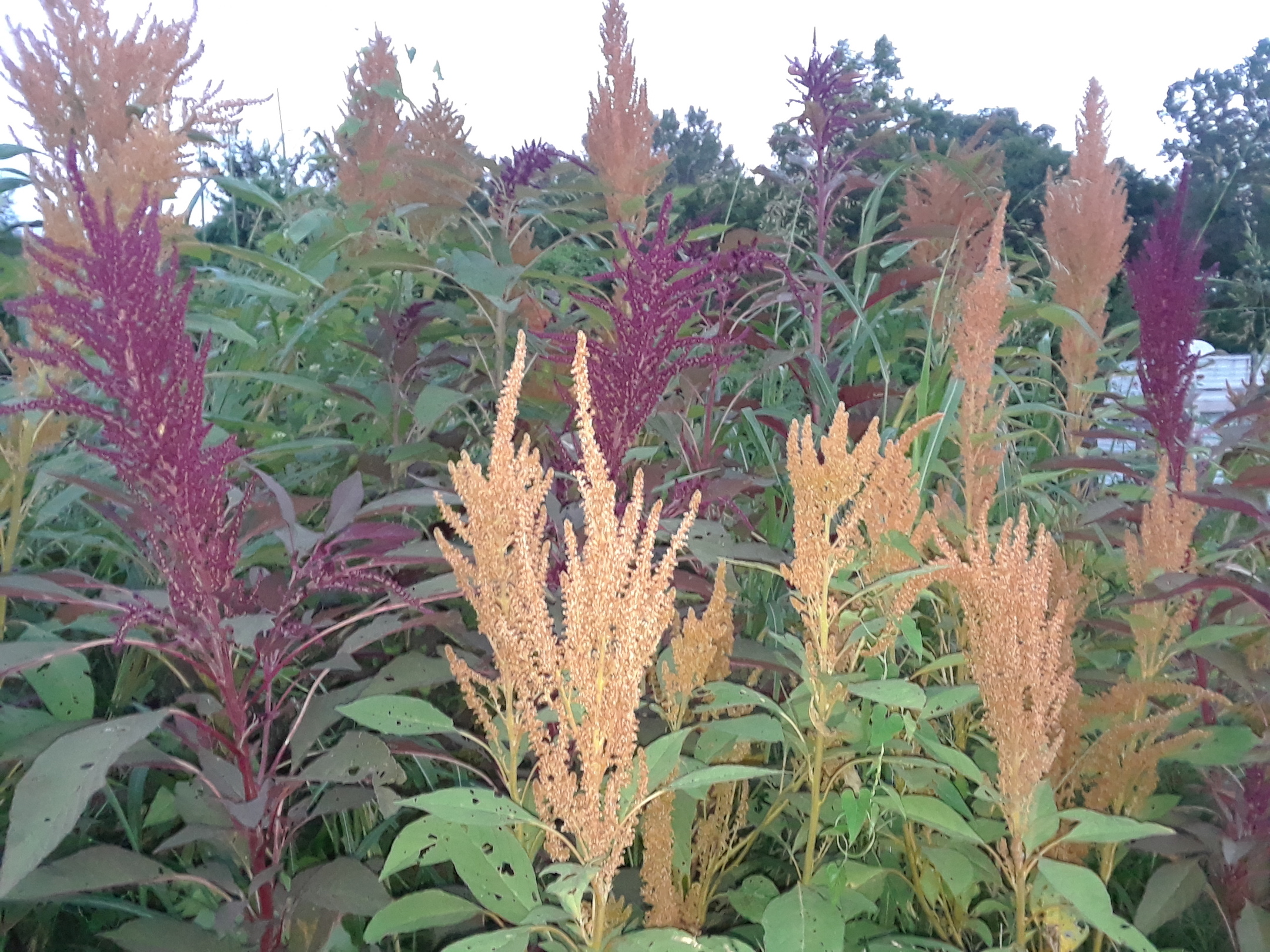 Here is a very abundant crop of red and golden amaranth, this ancient grain was grown specifically for the chickens! These flowers yield up to 1 lb of seeds that can be used for human or animal consumption, amaranth is considered a superfood!