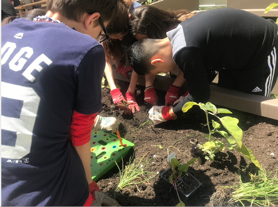 PS84 Students work together planting vegetables