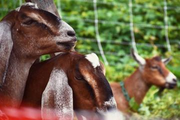 A picture of the goats in South Side Park