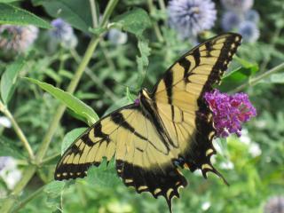 Butterfly enjoying native flowers