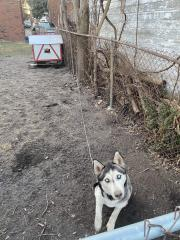 a husky chained in a backyard