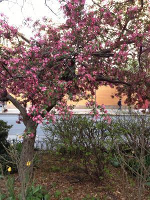 crabapple tree in flower Finn Square