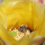 Image of bee in cactus flower.